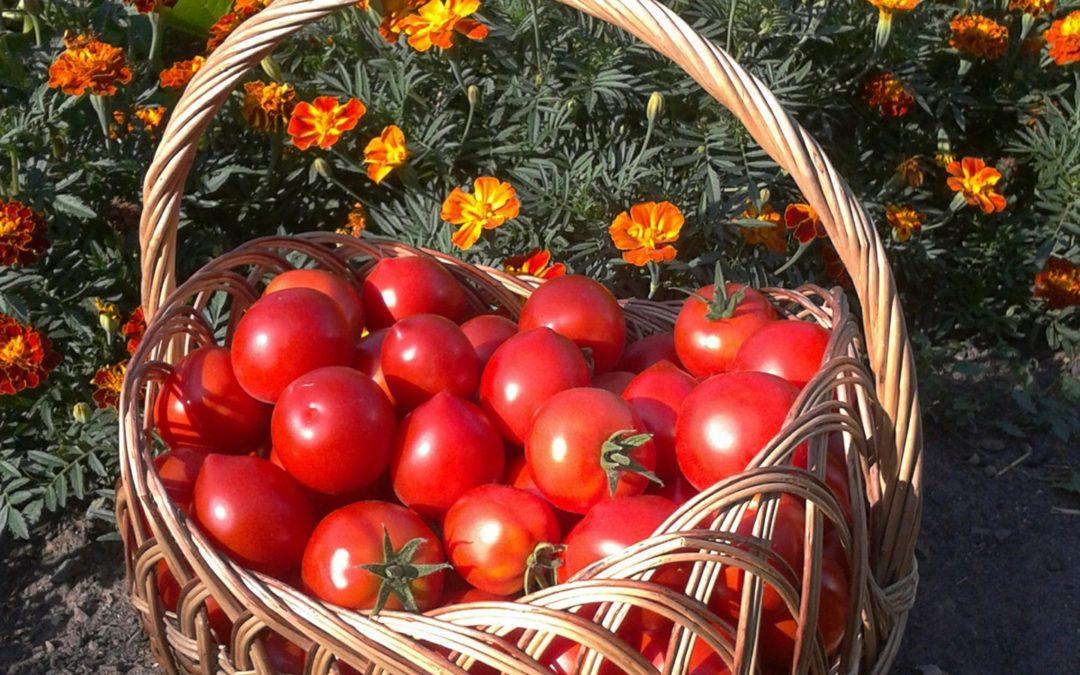 томаты в лечебных целях